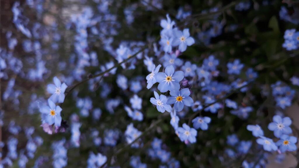 myosotis, flower, forget me not, garden, gardening,