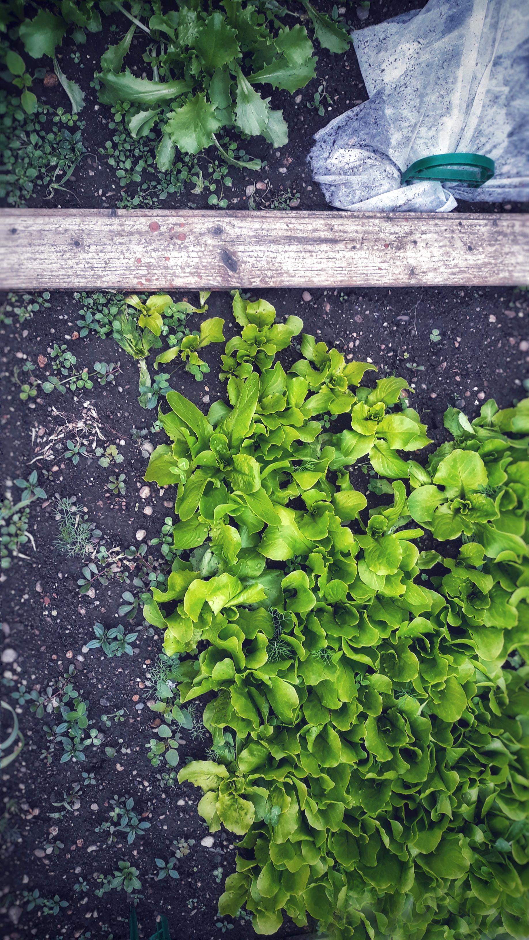 mama's garden, gardening, earth, salad, mother earth,